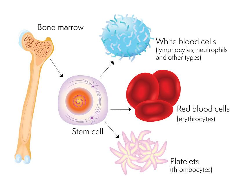 Tế bào gốc có tác dụng gì đối với sức khỏe con người?